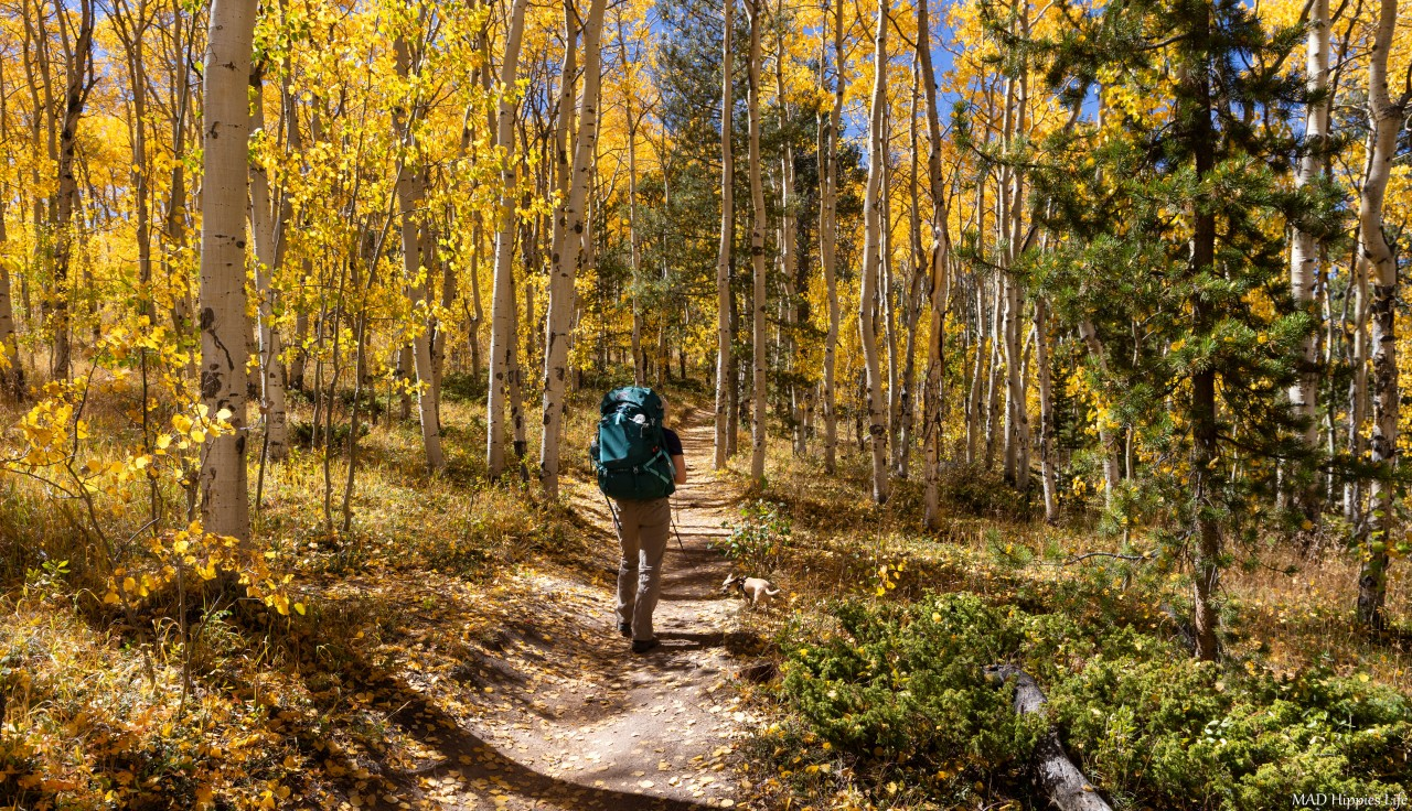 Going for Gold - Fall in Colorado