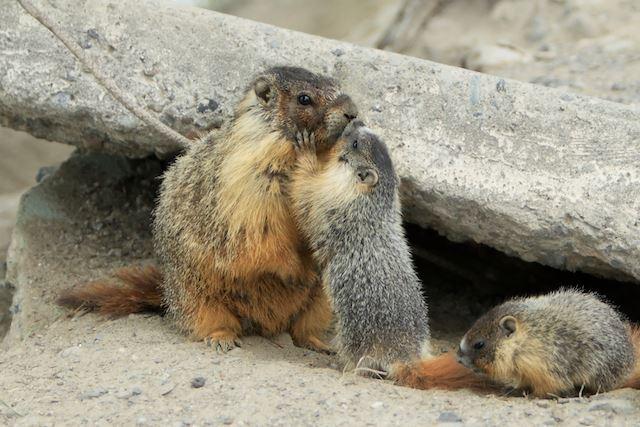 MarmotKisses.jpg