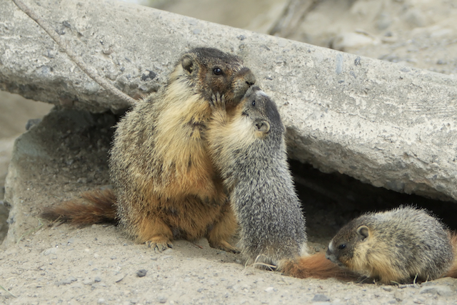 Mother_Yellow-bellied_Marmot_and_pup_kissing.jpg
