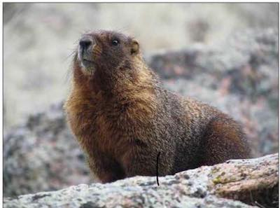YellowBelliedMarmot.jpg