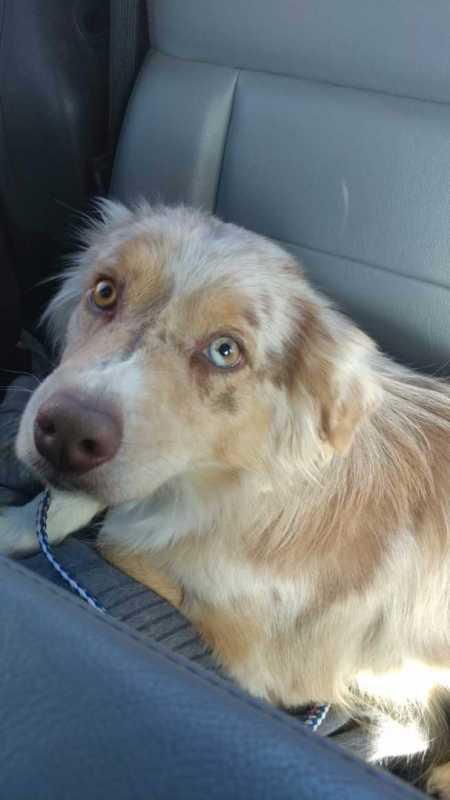 Lost Australian Shepherd In Bailey My Mountain Town